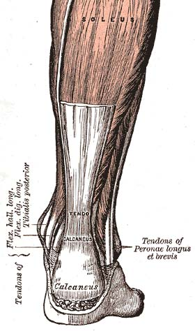 Posterior view of the foot and leg, showing the Achilles tendon (tendo calcaneus). The gastrocnemius muscle is cut to expose the soleus.